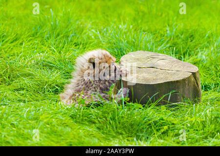 Cheetah Cub ( Acinonyx jubatus ) assis près d'une souche d'arbre Banque D'Images