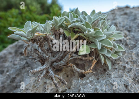 Plante verte avec des racines sur un relief et texture de la pierre avec des motifs. Fond naturel en pierre. Banque D'Images