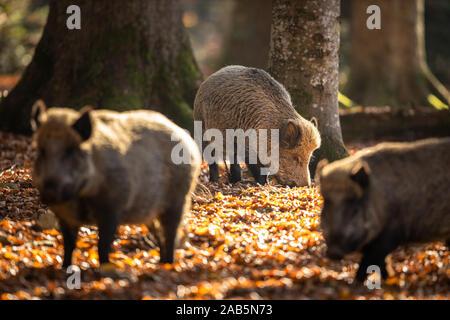Le sanglier (Sus scrofa, également connu sous le nom de porcs sauvages, le canard cochon sauvage