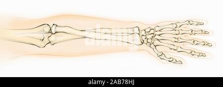 Illustration de la recherche biomédicale dans les os de l'avant-bras et main Banque D'Images