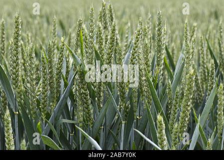 Détail de plants de blé d'hiver en bonne santé dans la floraison l'oreille Verte, Berkshire, juin Banque D'Images
