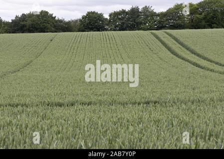 Avis de lignes d'une récolte de blé d'hiver en bonne santé dans la floraison l'oreille verte dans un champ avec du matériel roulant tramway, Berkshire, juin Banque D'Images