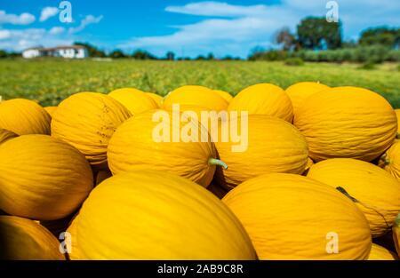 Les melons jaune canari de la ferme. Journée ensoleillée. Pile de melons dans la plantation. Banque D'Images