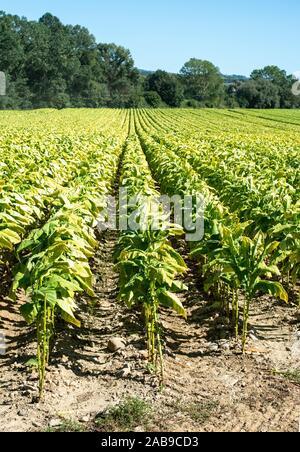 Plantation de tabac dans les lignes. Les feuilles de tabac de plus en plus d'application industrielle. La lumière du soleil.