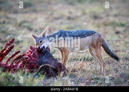 Le chacal à dos noir (Canis mesomelas) se nourrissant de carcasses de gnous. Le Masai Mara National Reserve, Kenya. Banque D'Images