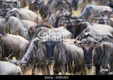 Le troupeau de gnous barbu (Connochaetes taurinus). Le Masai Mara National Reserve, Kenya. Banque D'Images