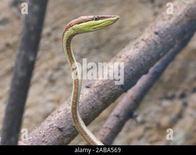 La serpent de vigne (oxybelis brevirostris), l'Équateur.