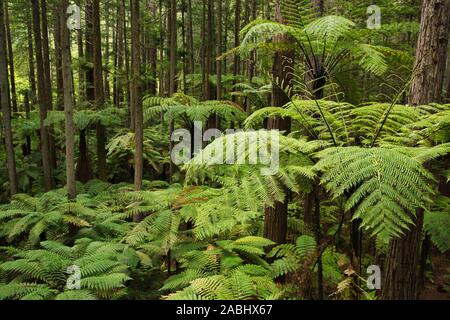 Forêt de fougères arborescentes et de séquoias géants dans la forêt de Whakarewarewa près de Rotorua, Nouvelle-Zélande