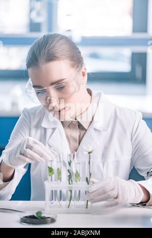 Focus sélectif de belles lunettes à un biochimiste en tubes à essai avec de petites usines près de microscope Banque D'Images