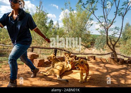 Femme africaine fuyant d'une fierté de 4 mois des lionceaux ludique (Panthera leo) près de Cullinan, Afrique du Sud