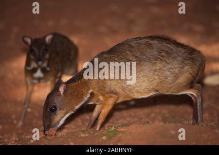 MOINDRE MALAIS SOURIS DEER ou MALAYAN CHEVROTAINS Tragulus javanicus. Animal avant mâle. Captif.