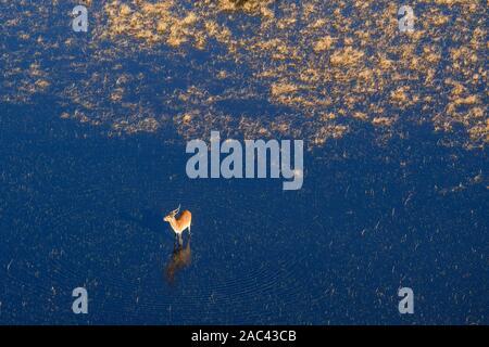 Vue sur la Lechwe rouge, Kobus leche, debout dans l'eau, Également connu sous le nom de Lechwe méridional. Macatoo, Delta D'Okavango, Botswana Banque D'Images