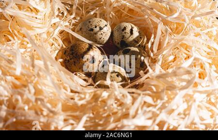 Nid avec un groupe d'œufs de caille, close-up. Stock photo d'un nid d'oeufs d'oiseaux.