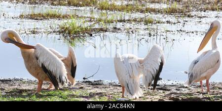 Beaucoup de pélicans blancs (Pelecanus onocrotalus) reste et preen par ouvrir l'eau sur le bord de la Silale Swamp. Parc national de Tarangire, en Tanzanie.