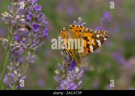 La belle dame (Vanessa cardui) papillon adulte se nourrit de la lavande dans un jardin. Carmarthenshire, Pays de Galles. En août.