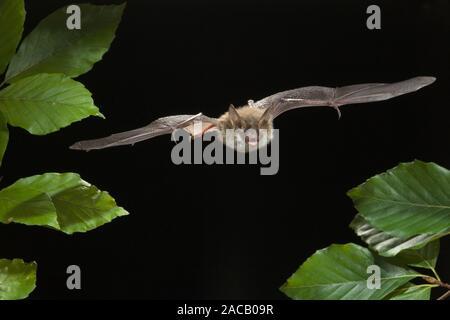 Bat (Bechstein Myotis bechsteinii), Bechstein's bat Banque D'Images