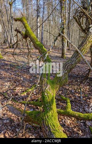 Vieux tronc d'arbre tombé avec mousse verte dans les bois Banque D'Images
