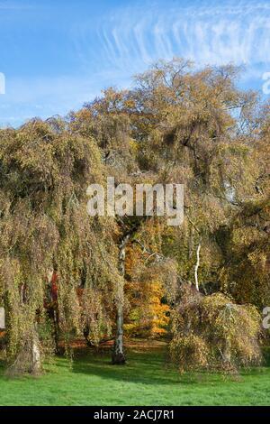 Betula pendula 'Youngii'. Le jeune arbre bouleau pleureur à Westonbirt Arboretum en automne. Le Gloucestershire, Angleterre Banque D'Images