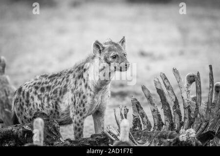 L'hyène tachetée à une carcasse à vautours en noir et blanc. Banque D'Images