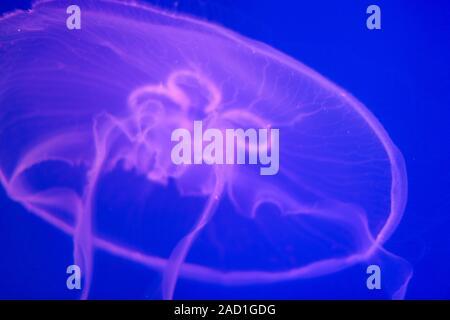 Les méduses transparentes sur un fond bleu