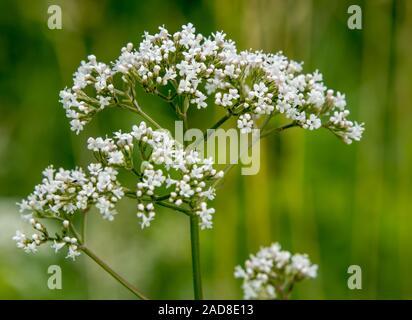 Bloossom blanc, plante non défini Banque D'Images
