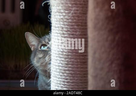 Beau chat timide se cache derrière son arbre à chat. la lumière de la lumière sur ses grands yeux verts et de longues wiskers Banque D'Images
