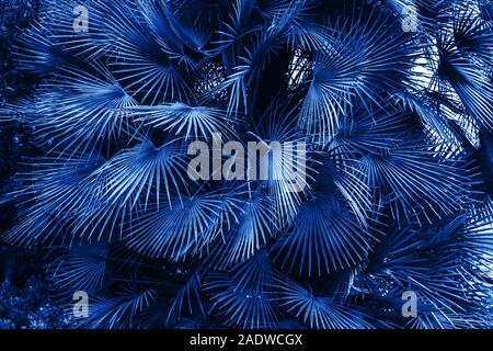 De nombreuses feuilles de palmier de la famille mineur de Sabal. Contexte tropical naturel. Couleur de l'année 2020 classic bleu. Banque D'Images
