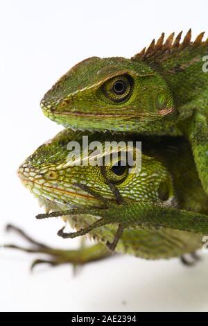 Bronchocela jubata, communément connue sous le nom de forêt à crinière lézard, est une espèce de lézard dragon trouve principalement en Indonésie isolé sur fond blanc Banque D'Images