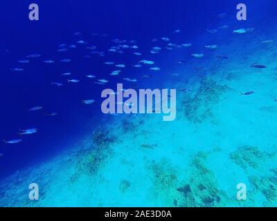 Couleur bleu classique 2020. Classic mode arrière-plan bleu, bleu tonifiant 19 4052. Troupeau de poissons tropicaux dans la mer sous l'eau. Plongée en apnée et Banque D'Images