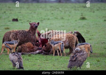 Hyènes et chacals à une carcasse de gnou tandis que les vautours attendent leur tour Banque D'Images