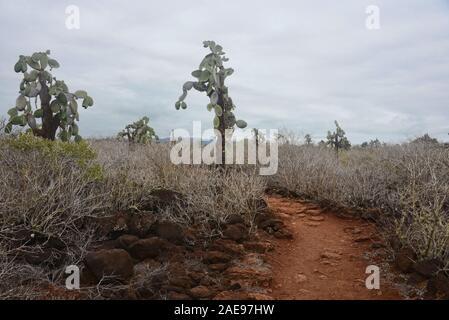 Cactus Opuntia, l'île Santa Cruz, Galapagos, Equateur