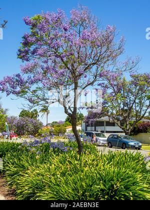 Agapanthus et Jacaranda tree en pleine floraison à St Ardross Fléron Perth Western Australia.