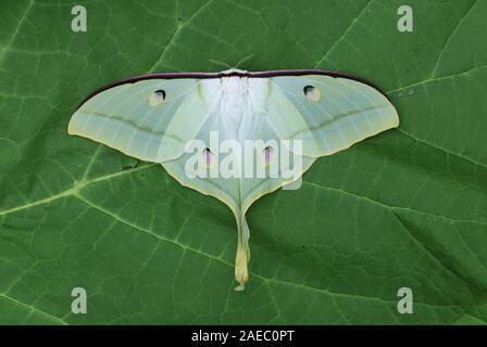 Papillon de lune indienne (Actias selene) Féminin reposant avec les ailes ouvertes. Banque D'Images