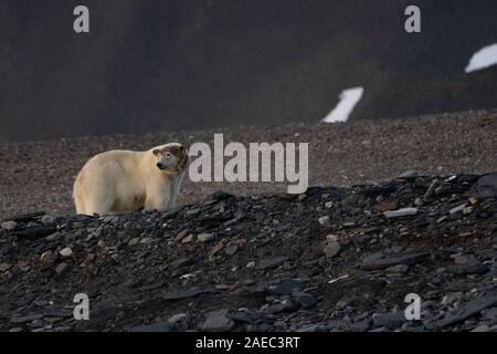 Femme ours polaire (Ursus maritimus) au Spitzberg, Svalbard, Norvège