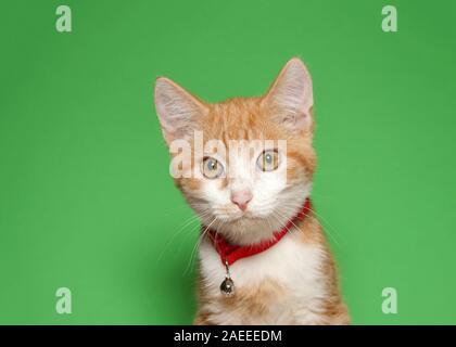 Portrait d'un adorable petit chaton tabby orange et blanc portant un collier rouge avec Bell à directement à l'afficheur. Fond vert avec la CDP