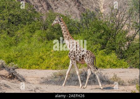 Portrait d'une girafe angolais - Giraffa giraffa angolensis- le long de la rivière Hoanib, dans le nord-ouest de la Namibie.