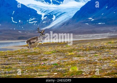 Un mâle Renne du Svalbard (Rangifer tarandus platyrhynchus) dans la toundra en été avec son bois toujours en velours. Ce mammifère herbivore est le sm Banque D'Images