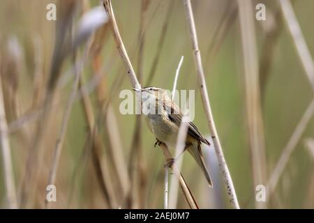 Acrocephalus schoenobaenus perché sur un roseau à l'Ammersee Bavaria nature reserve Banque D'Images