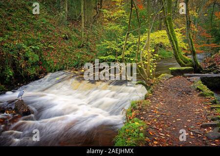 UK,South Yorkshire,Rivière,Sheffield Weir Rivelin et Heron au cours de l'automne Banque D'Images