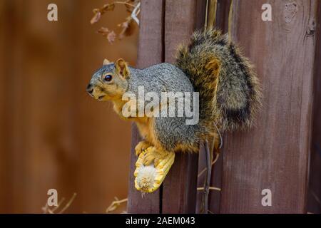 Fox écureuil roux (Sciurus niger) debout sur un noyau de manger un épi de maïs Banque D'Images