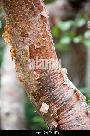 Le gros plan de Gumbo Limbo-trunk communément appelé en tant qu'arborescence car son écorce est rouge et l'épluchage (Little Stirrup Cay, Bahamas). Banque D'Images
