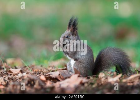 L'Écureuil roux (Sciurus vulgaris). Morph noir