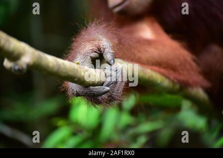 Close up de la main d'orangs-outans (Pongo pygmaeus) Parc national de Tanjung Puting, centre de Kalimantan, Bornéo, Indonésie. Banque D'Images