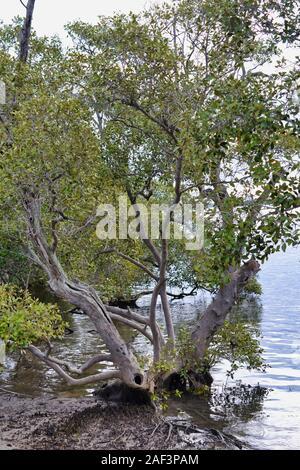 Les mangroves sur bord de l'eau, Passage Pumicestone, tache blanche, Queensland, Australie Banque D'Images