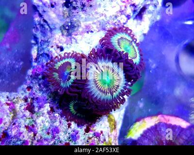 Caraïbes's Citrus spp. zoanthids polypes colonie smal Banque D'Images