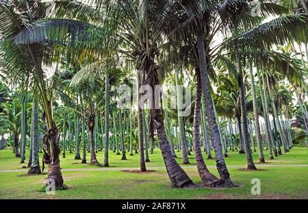 L'un des plus précieux pour les arbres anciens hawaiiens était le cocotier (Cocos nucifera), comme celle-ci qui après avoir longtemps été croissant dans un bosquet de 2 000 palmiers sur Kauai, une des huit îles principales d'Hawaii, USA. Portée à l'état Aloha Hawaii's par des colons polynésiens, cocotiers a fourni de la nourriture, aliments liquides, et les matériaux de construction. Les grands palmiers atteignent une hauteur moyenne de 60 pieds (18 mètres) mais il peut atteindre jusqu'à 100 pieds (30 mètres). La durée de vie moyenne de l'arbre est de 60 à 70 ans, bien que certains cocotiers vivre pendant plus d'un siècle. Banque D'Images