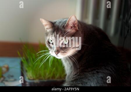 Beau chat mâle timide assis près de son herbe. Il a de longues moustaches et gros yeux verts Banque D'Images