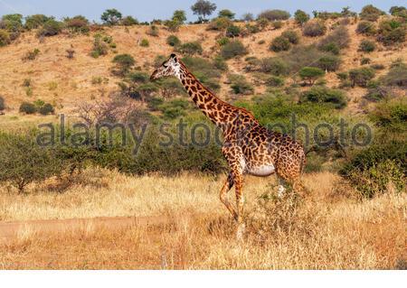 Une girafe Masai Giraffe (Kilimanjaro, la plus grande sous-espèce de girafe) dans la savane africaine à Parc national de Tarangire, Tanzanie, East-Africa Banque D'Images