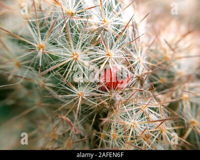 Graines de cactus pod. Petit fruit de cactus close up Banque D'Images