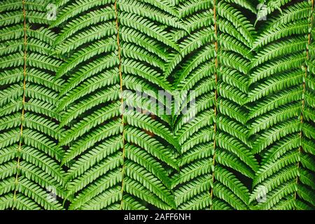 Contexte tropical vert. Texture parfaite fougères. Lignes abstraites dans la nature, figure géométrique. Bannière horizontale, concept de la nature. Banque D'Images